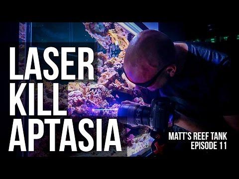 LASER KILL APTASIA | MATT's REEF TANK