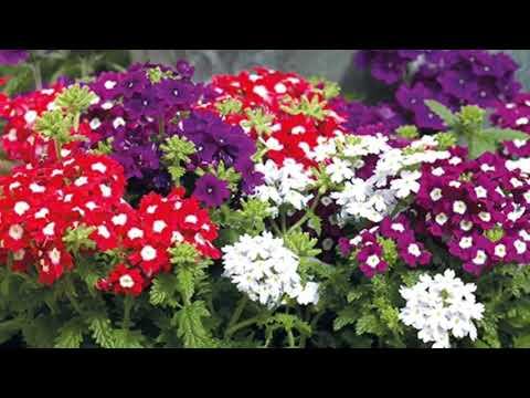 Verbena  Flowers Grow And Care
