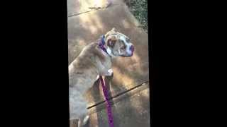 Old English Bulldog Off Leash Training