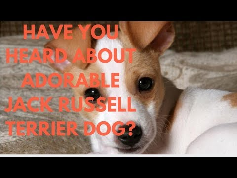 Have You Heard About Adorable Jack Russell Terrier Dog?