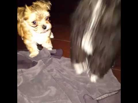 Micro Teacup Puppies For Sale In Oakville Ontario Youtube