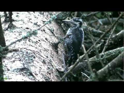 Nlp. Bayer. Wald: Dreihzehen-Specht In Aktion- Woodpecker In Action