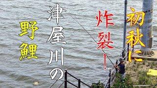 初秋に炸裂!!津屋川の野鯉