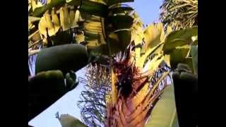 Monster Bird of Paradise Plant and Seeds