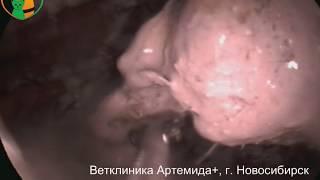 Извлечение инородного предмета (медицинский бинт) из желудка и двенадцатиперстной кишки собаки