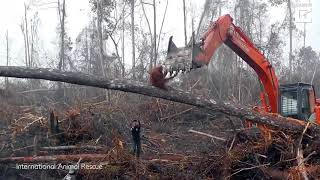 Sadness As An Orangutan Tries To Fight The Bulldozer Destroying Its Habitat