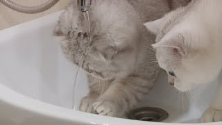 Scottish fold and straight wash their heads and paws   Silver chinchilla   Funny & cute kittens