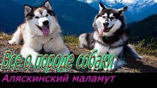 Аляскинский Маламут собака! Полное описание о породе!