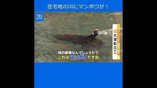 Nスタ545:住宅地の川にマンボウが!