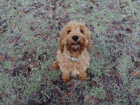 Milo - Cockapoo Puppy - 2 Weeks Residential Dog Training