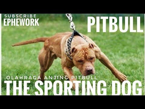 THE SPORTING DOG ( PITBULL APBT  )
