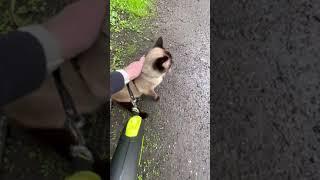 Walking burmese cat on a leash