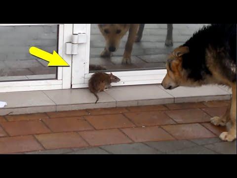 Крыса в деле!