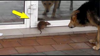 Крыса в деле! Крыса, против кошки, собаки, змеи...