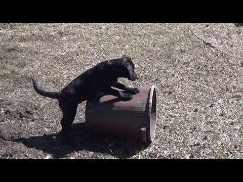 Bongo circus dog