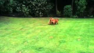 Cocker Spaniel V Cocker Poodle