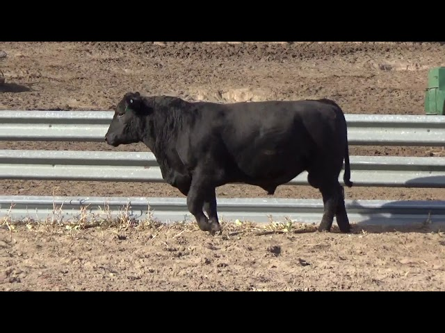 Connealy Angus Lot 227