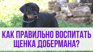 Как правильно воспитать щенка добермана? Доберман - особенности воспитания и дрессировки.