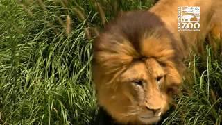 Lions get Treat for World Lion Day - Cincinnati Zoo