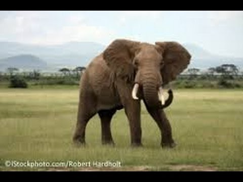 VIDEO: Angry elephant attacks safari tourists| SOUTH AFRICA