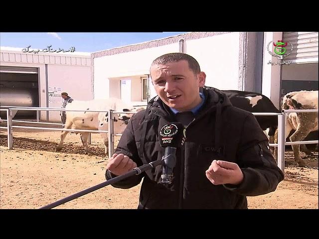 #أم_البواقي - #تربية_الأبقار نموذج ناجح لشاب مستثمر في تربية الأبقار