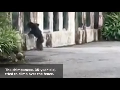 Chimpanzee Escapes from Enclosure, Scaring Visitors in Taipei Zoo