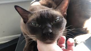 Is the Burmese the right cat for you?