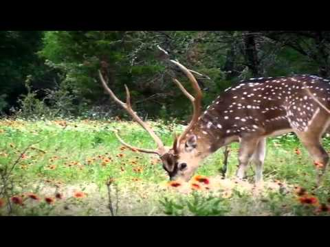 Bow Hunting 31-inch Gold Medal Axis Deer in Texas at Vbharre Ranch