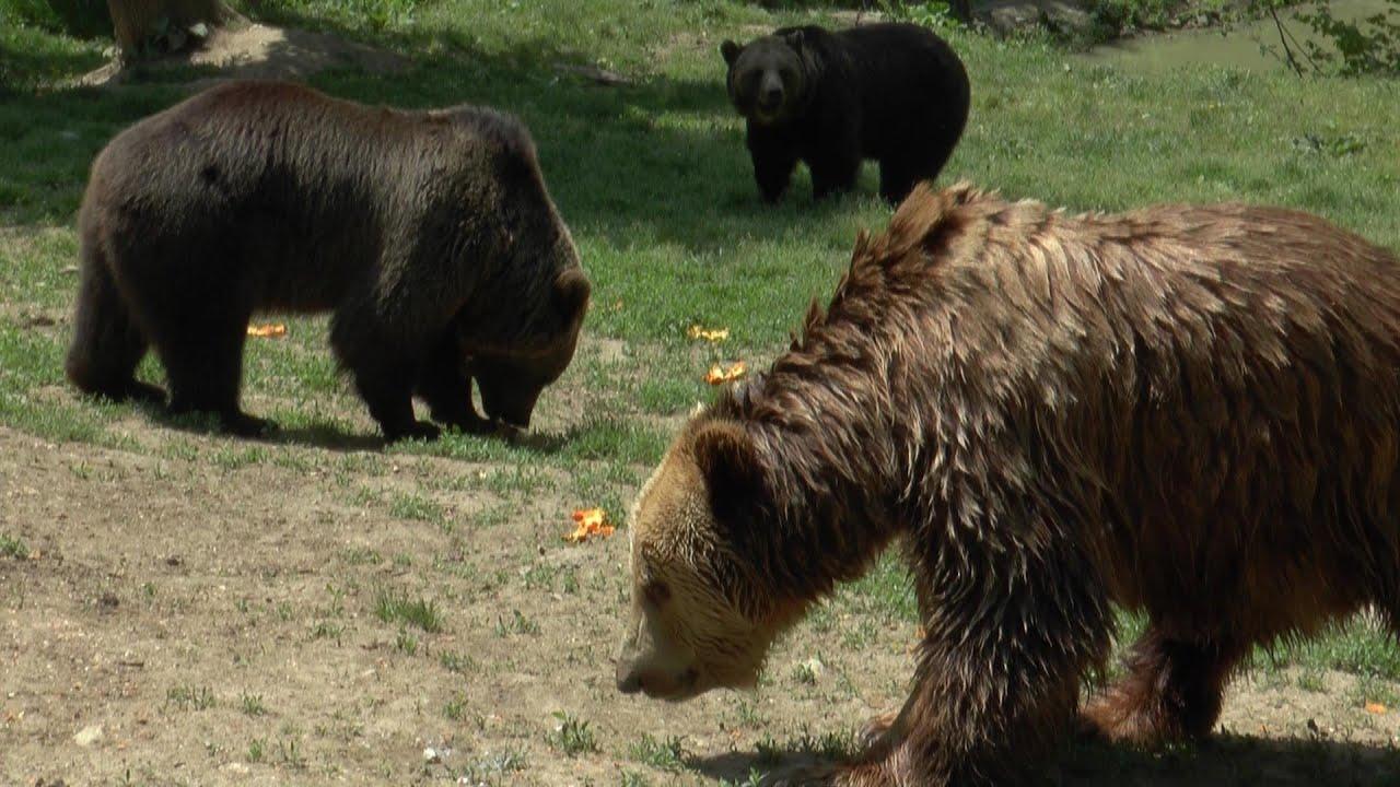 Rezervatia de ursi din brasov webcam