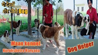 Saint Bernard Dog || Dog Helper || 9813510099