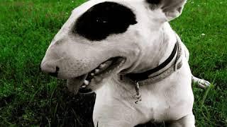 Miniature Bull Terrier  Dog Breed  Pet Friend