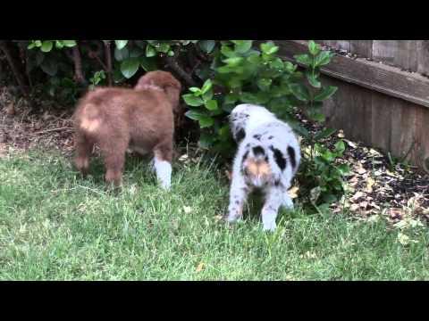 Cutest Australian Shepherd Blue Merle & Red-Tri Puppies Ever !!!