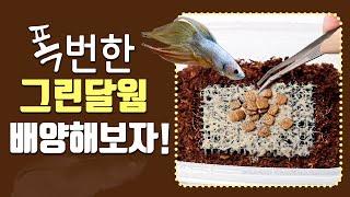 그린달웜 배양하는 방법ㅣ그린달웜(grindal worm…
