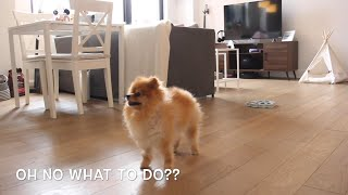 What dogs do while you're not home?  Funny Pomeranian home alone & reaction when owners come home