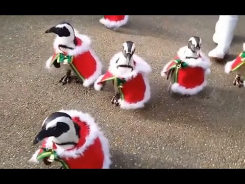 #Penguin #Santa #SantaClaus - Penguins Dressed As Santa Claus At Japanese Zoo - YouTube