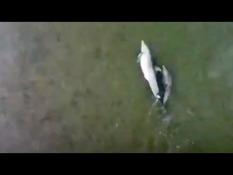 Drone Video Shows Dolphin And Calf Chasing School Of Fish In Hilton Head Island Creek