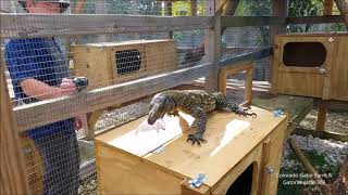 Feeding Bill the crocodile monitor