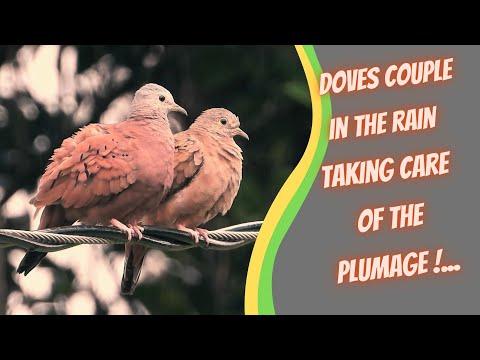 Ruddy Ground-Dove, Double
