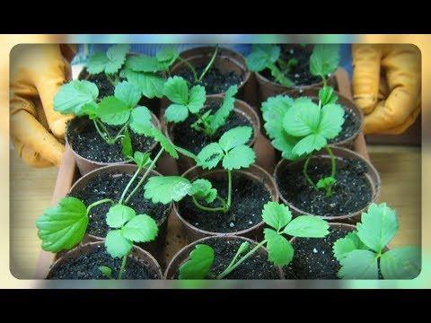 Ошибки и сложности при выращивании рассады клубники из семян