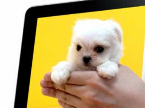 Teacup Puppies For Adoption Toy Maltese