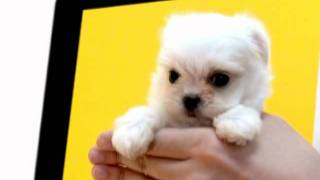 Teacup Puppies For Adoption Toy Puppies For Sale Teacup Maltese Puppies For Sale.