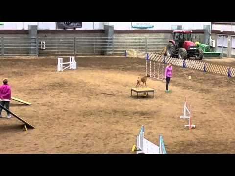 Boxer Dog Agility Novice Standard Qualifying Run II