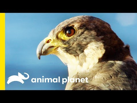 Fierce and Fast Falcon Flight | Animal Bites with Dave Salmoni