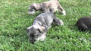 Miniature Schnauzer Puppies For Sale In Shippensburg Pa