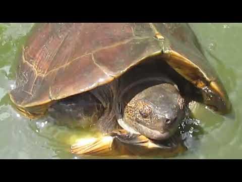 Hướng dẫn nuôi rùa đất lớn sinh sản - RÙA CẢNH VIỆT NAM