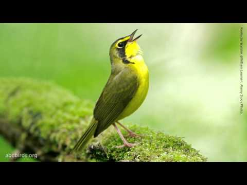 Kentucky Warbler Song
