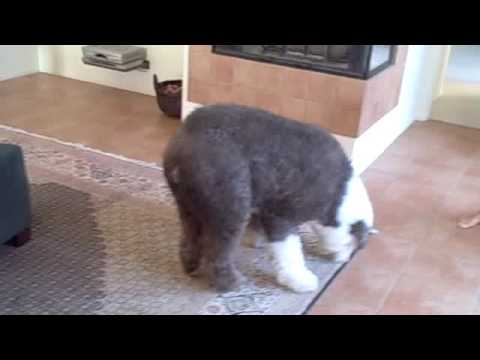 Nelson our Old English Sheep Dog gets a haircut , YouTube
