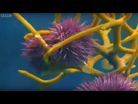 Army of Sea Urchins? | Planet Earth | BBC Earth