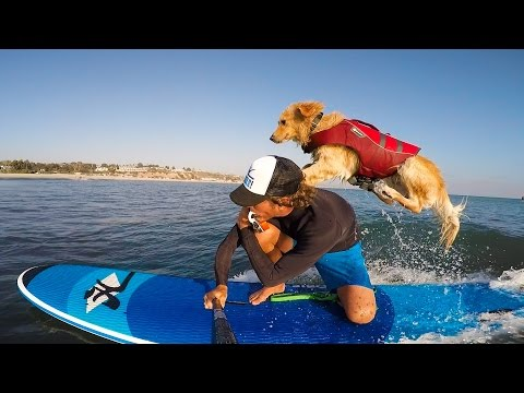 This Golden Retriever Was Homeless Until He Learned How To Surf