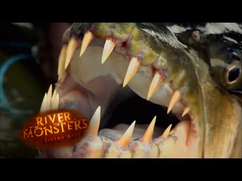 Jeremy Wade Catches Killer Goliath Tigerfish | TIGERFISH | River Monsters